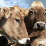 """Vaches de race """"Brune"""". D'autres races laitières sont aussi présentes sur le secteur comme l'Abondance ou Montbéliarde.."""